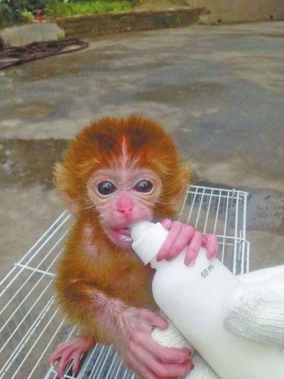 昨天上午10点多钟,在郑州市林业局野生动物救护站,记者见到这只