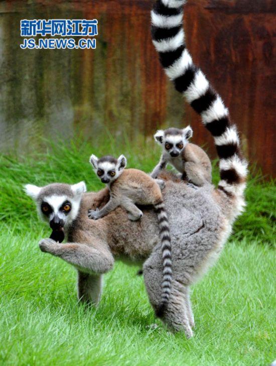 6月29日,苏州动物园的一对双胞胎环尾狐猴宝宝坐在妈妈背上在户外