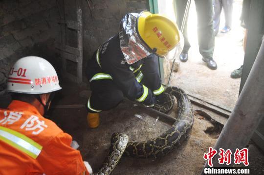 32斤大蟒蛇闯入乡民家偷鸭吃太饱爬不动被捕(图)