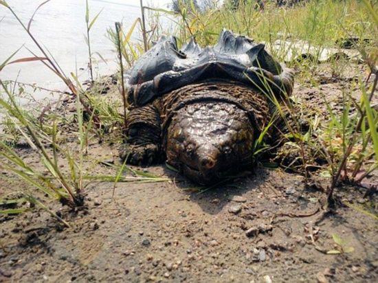 """俄河畔现大鳄龟 被称""""乌龟中的恐龙"""""""