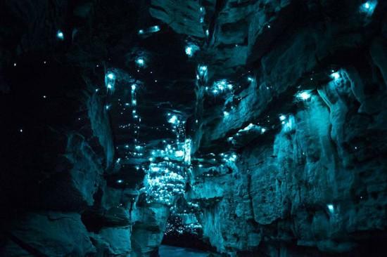 里的一个科,并不是所有种类的萤火虫都能发光(网页截图)-新西兰