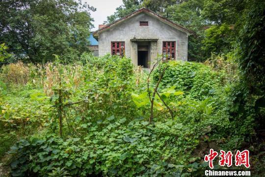柳州旧机场及城防工事群旧址营房A区,长满了比人还高的杂草和灌木,部分地块上还种着玉米、红薯苗、芋头等农作物。 黄威铭 摄