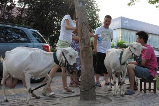 西安夫婦牽羊到街頭賣羊奶 現擠現賣供不應求