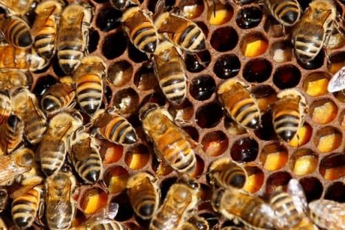 奇葩动物窃案:一袋蚊子被盗万只蜜蜂失踪(图)