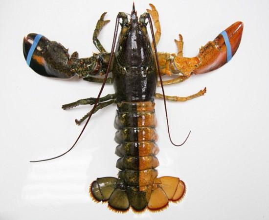 """美海岸惊现""""拼色""""龙虾 几率仅5000万分之一"""