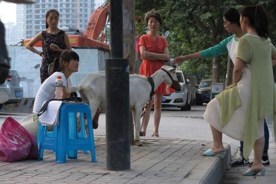 西安夫妇牵羊到街头卖羊奶 现挤现卖供不应求