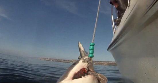 罕见!潜水员拍大白鲨进食遭另一条腾空抢镜