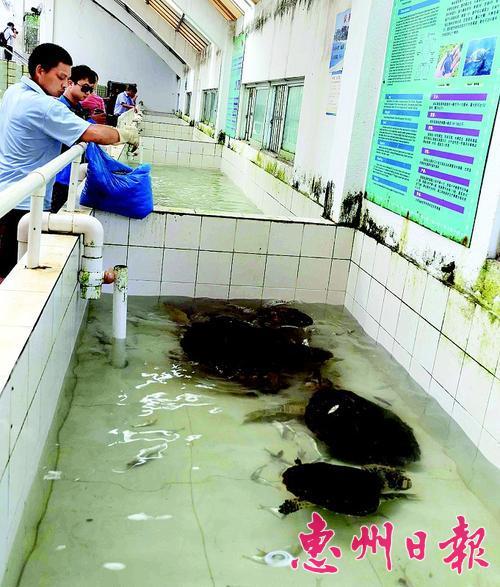 保护区的工作人员给海龟喂食。