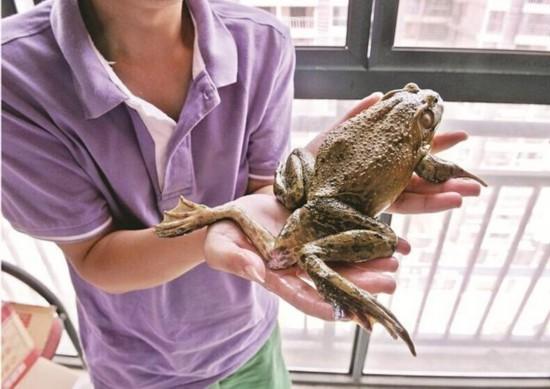 湖北男子菜场买菜买回5条腿牛蛙 专家:很正常