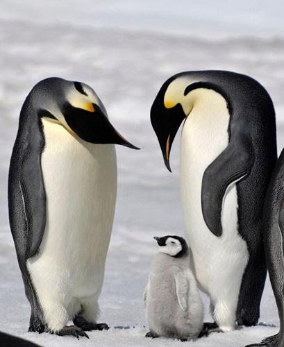 企鹅从小被人养大不会游泳饲养员开班授课(图)