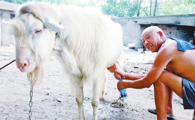 漯河公羊能产奶洁白如玉香味浓 老汉:一辈子没见过