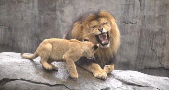 美国动物园幼狮纠缠惹怒疲劳雄狮