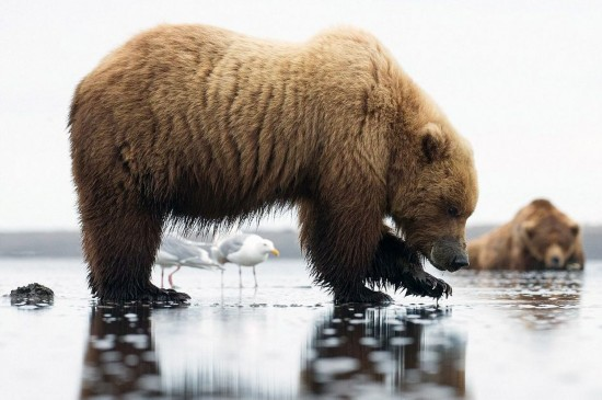 """美国棕熊妈妈觅食遭遇""""追求者"""""""