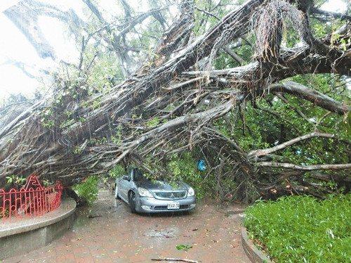 豪雨狂风袭台3秒吹倒170岁老榕树(图)