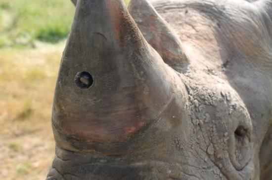 英研制微型摄像机 植入犀牛角追踪濒危犀牛踪迹