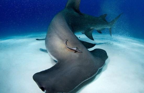 """美科学家制服6米长""""吃人鲨""""做研究【7】"""