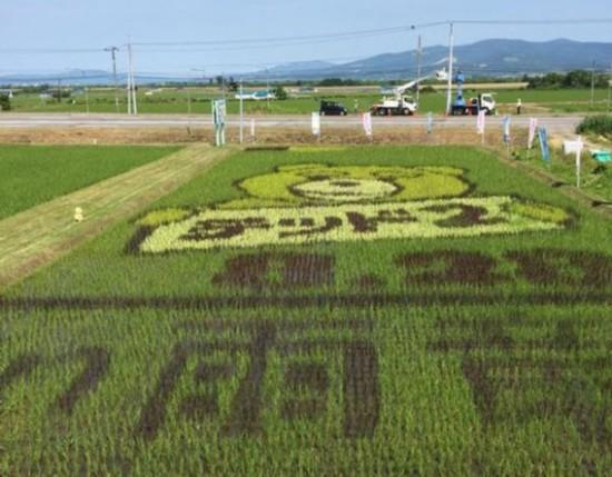 日本稻田现巨幅泰迪熊图案 引众多游客围观