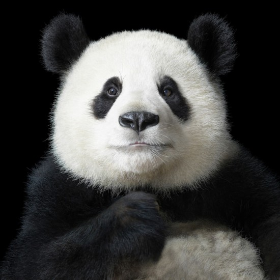 zooskool人与猪-7月25日报道,英国著名摄影师Tim Flach拍摄的一组动物肖像近日在苏