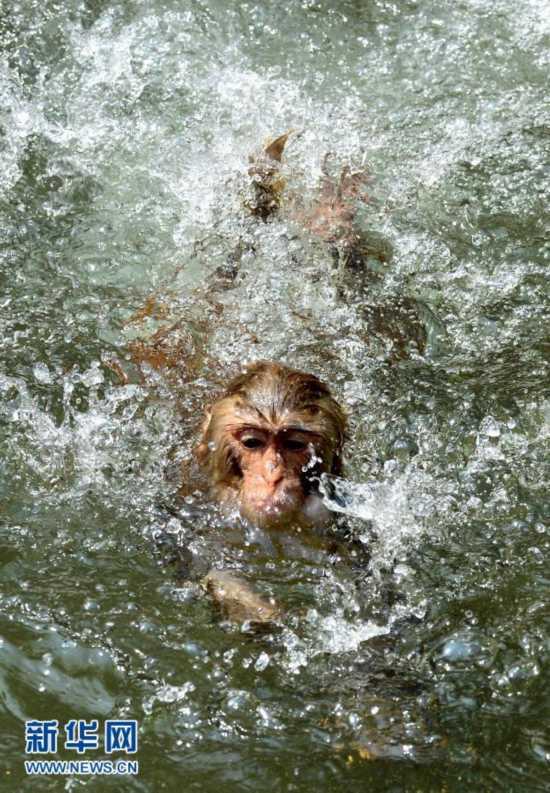 7月28日,在河南省洛阳市王城公园动物园,一只猴子在水池中戏水