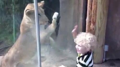 调皮男童与狮子嬉闹.