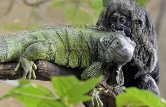 德动物园蜥蜴与猴子建立友谊关系亲密