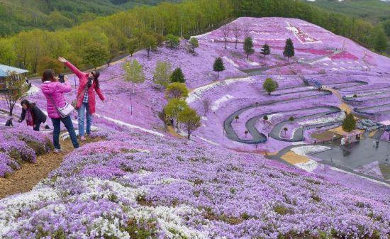 风光无限:日本各地花海惊艳绽放