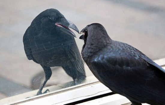 日本街头现臭美乌鸦 对窗整理羽毛达15分钟
