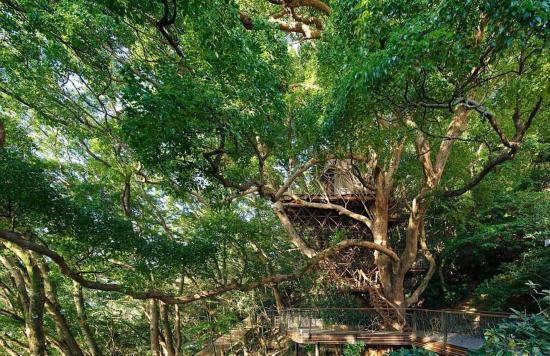 日建筑师在300年古树内建豪华树屋