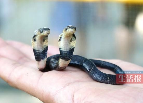 南宁市动物园来了双头蛇 蛇园饲养员惊叹头次见