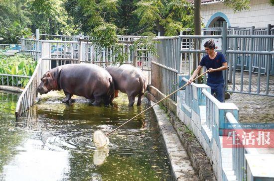 南宁动物园河马池水太脏遭吐槽 园方称不影响健康
