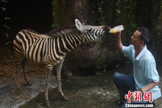 深圳野生动物园饲养员当奶爸人工喂养小斑马