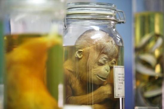 震惊!印尼为教学竟将小猩猩装入瓶内作标本