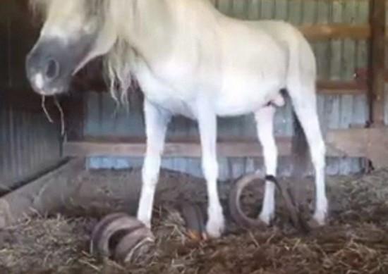 美国两马被锁15年 粪便成堆马蹄指甲长91公分