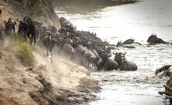 组图:实拍肯尼亚角马过河遭巨鳄扑杀激烈瞬间