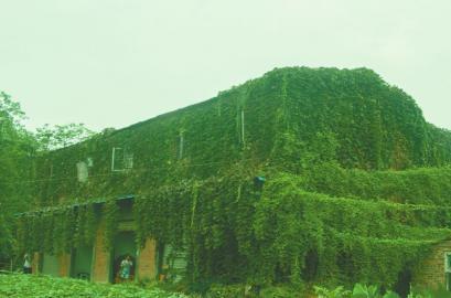 男子23年前为妻子种爬山虎爬满房 绿房子将拆迁