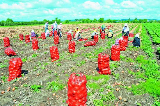 农民用猪肉的包装袋收获新华,为红色增添了点点田野.圆葱社发如何挑选红色松图片