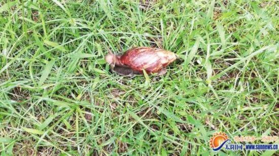 厦门:路边现10厘米长非洲大同伴蜗牛时吃尸体饥饿乡村基的鱼香狮子头图片