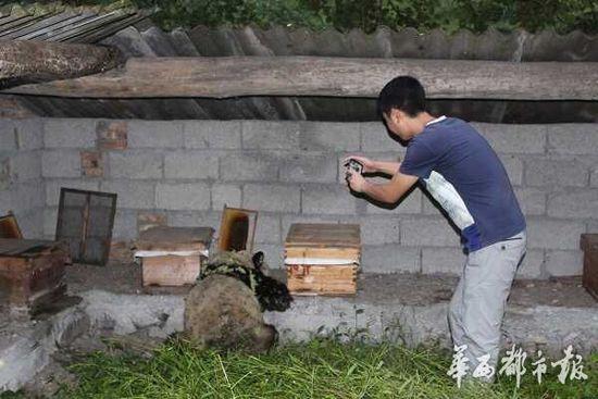 大熊猫下山偷吃10多箱蜂蜜