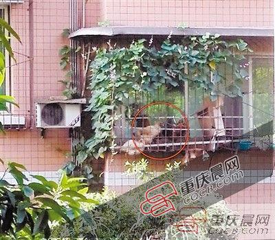 小区居民窗台上养鸡每日凌晨打鸣惊扰邻居(图)