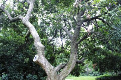 泸州滨江路桂圆树挂果 市民采摘致树枝被折断