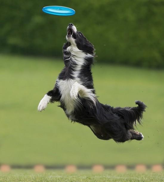 意大利狗狗比赛接飞盘 可跳1米8高