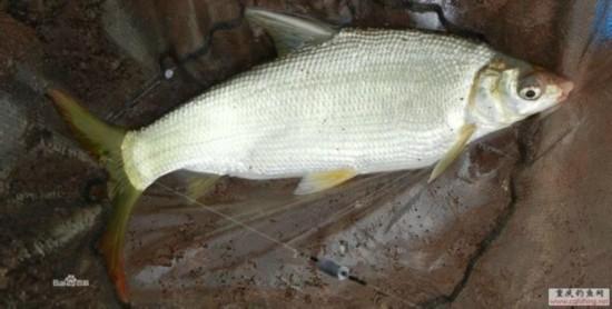 吃鱼要注意:四种鱼千万不能碰 老人小孩一定要当心!