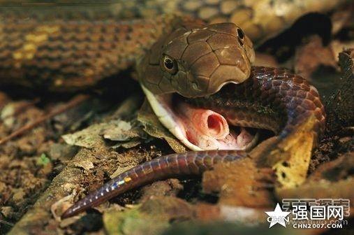 眼镜王蛇吃眼镜蛇