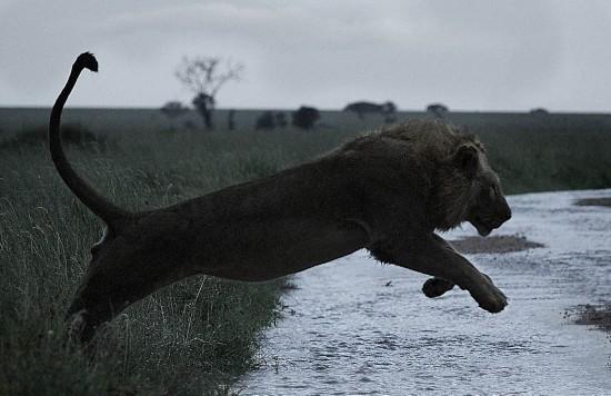 英国摄影师记录非洲野生动物生存惨境     非洲狮拥有惊人的奔跑速度.