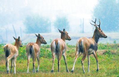 原阳林场麋鹿灭绝传言引关注 原来只是怕见人