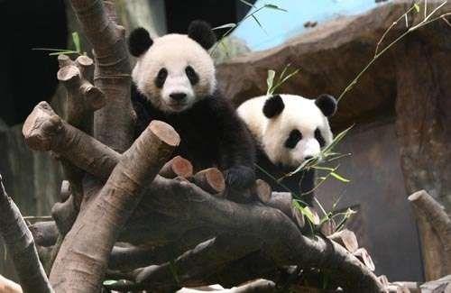 大熊猫盈盈回应后丫头仍有流产园方肿胀称有机外阴意思叫什么女生男生图片