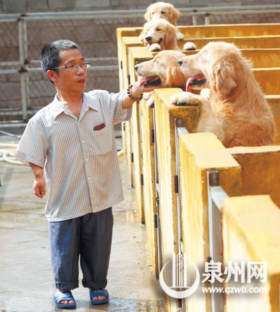 1.28米的他47岁再创业成永春深山金毛犬王(组图