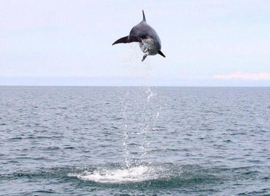 艺高胆大!顽皮海豚海上跳高引喝彩
