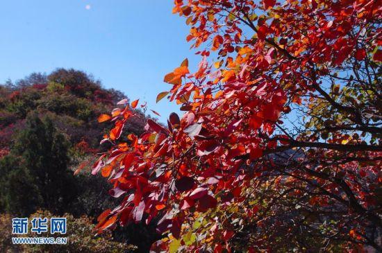 背景 壁纸 枫叶 红枫 绿色 绿叶 树 树叶 植物 桌面 550_365