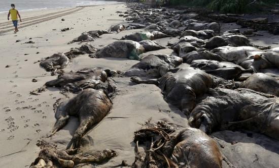 巴西载5000头牛船只倾覆 牛尸遍布海滩